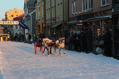The reindeer race is held in the main street of Tromsø