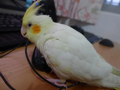 粉圓鳥寶咬滑鼠線材