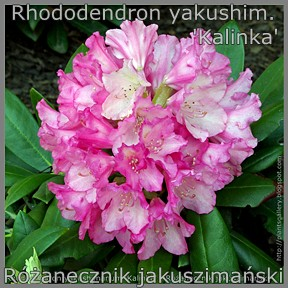 Rhododendron yakushimanum 'Kalinka' - Różanecznik jakuszimański