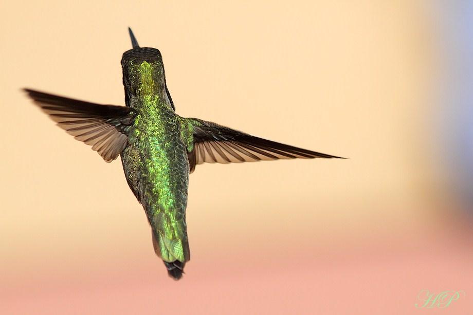 Anna's Hummingbird 020812-7