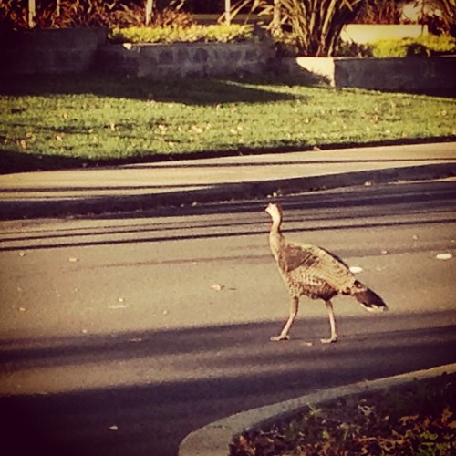 Why did the Turkey cross the road? by Diane Meade-Tibbetts