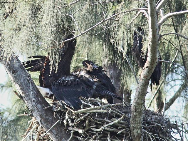 Bald Eaglet struggles with parent for fish 20140409