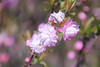 Dwarf flowering almond by shinichiro*