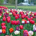 Beautiful spring tulips garden