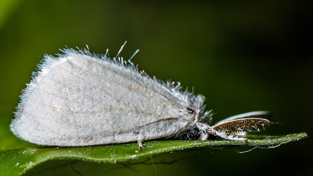 "Teeny white moth! - ""Explored"""