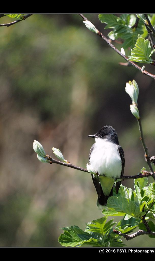 Eastern Kingbird (Tyrannus tyrannus)