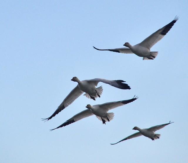 Snow Geese Soaring