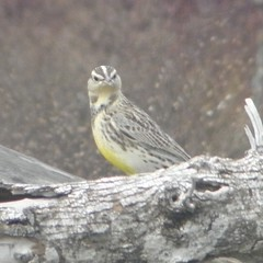 Meadowlark on a tree trunk