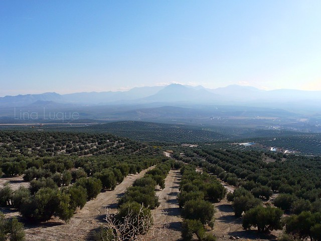Mar de olivos