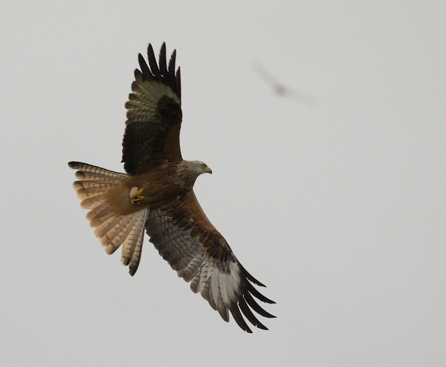 Red kite ISO 3200 2