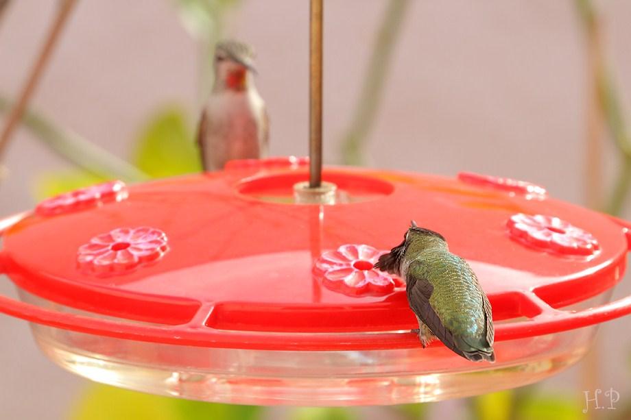 Anna's Hummingbird 112911-5