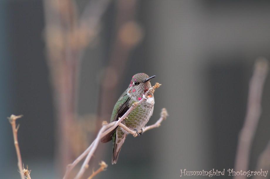 Anna's Hummingbird 120111-2
