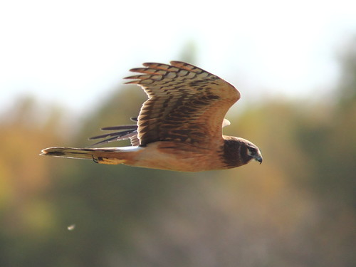 Northern Harrier 09-20111204