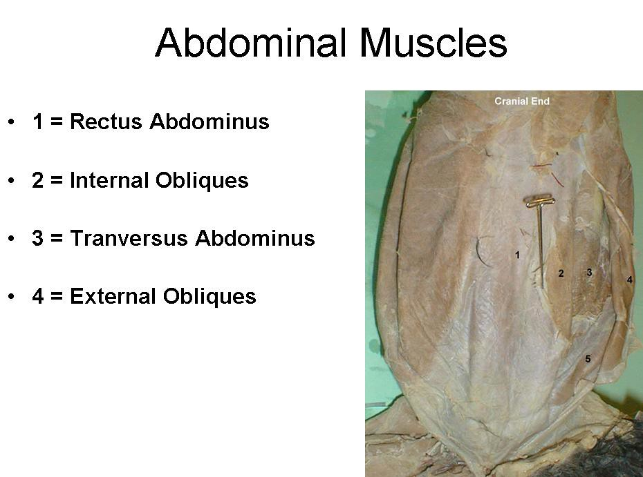 3. Abodminal muscles