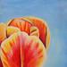 Tulip 16 x 20