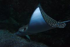 deep sea fish(0.0), animal(1.0), manta ray(1.0), fish(1.0), marine biology(1.0), skate(1.0), underwater(1.0), cartilaginous fish(1.0),