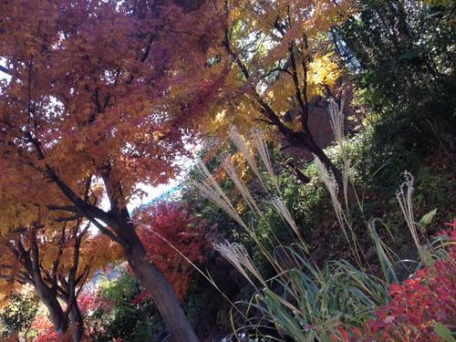紅葉とすすき@散歩道