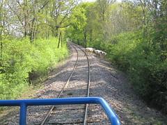 En voyage en G 1000 12 Cows on the tracks