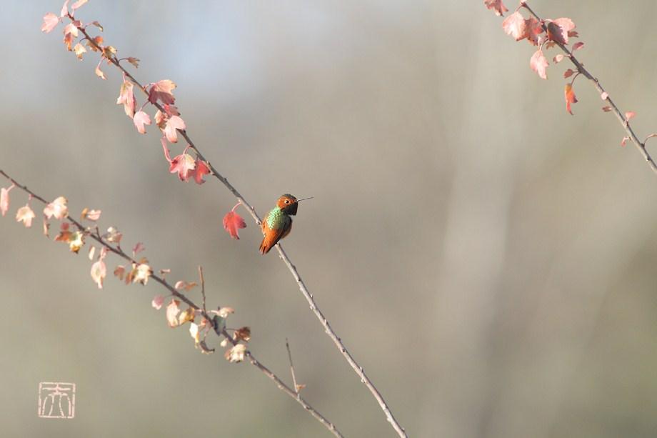 Allen's Hummingbird 121611