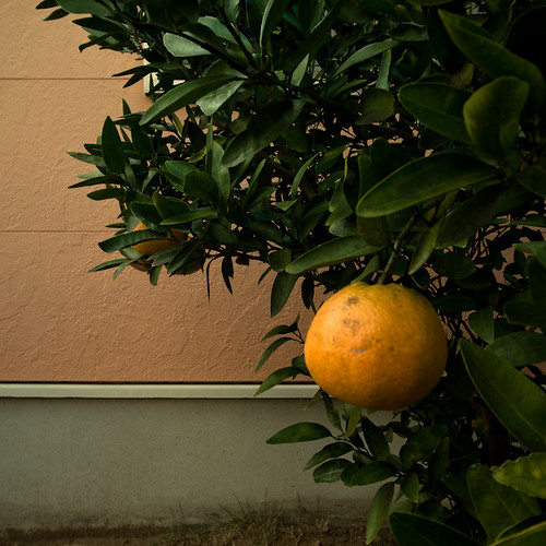 Boutiful Citrus Tree, Chiba, Japan