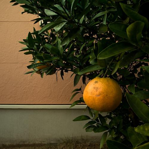 Boutiful Citrus Tree, Chiba, Japan