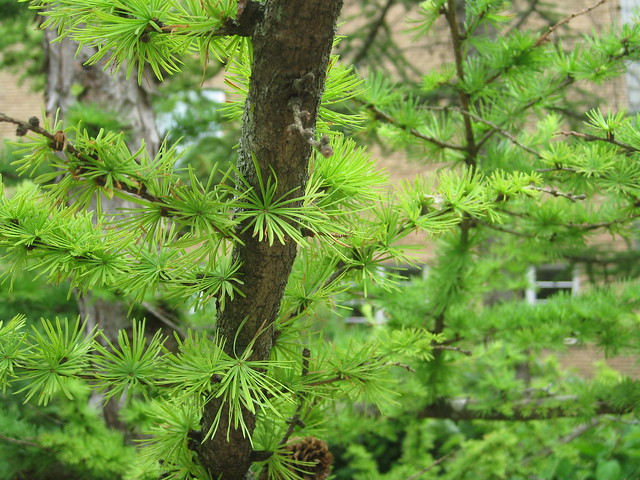 Header of American Larch