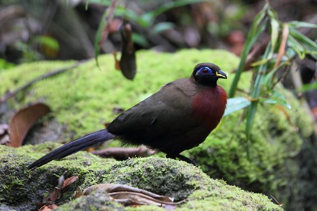 мадагаскарские птицы фото стоит