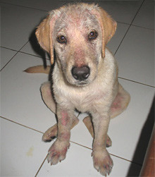Demodectic Mange Natural Cure Diatomaceous Earth