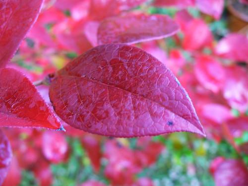 真っ赤になったブルーベリーの葉っぱ
