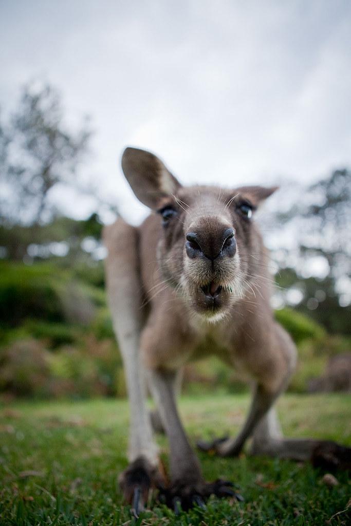 Kicający stwór rodem z Australii
