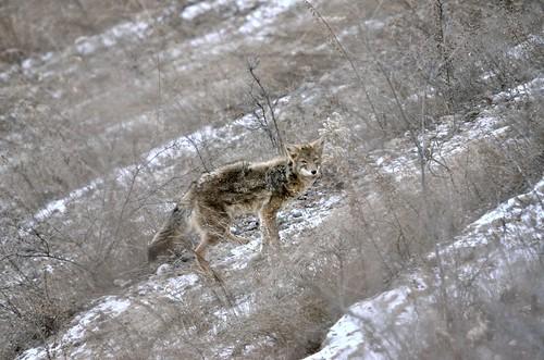 Coyote DSC_2143