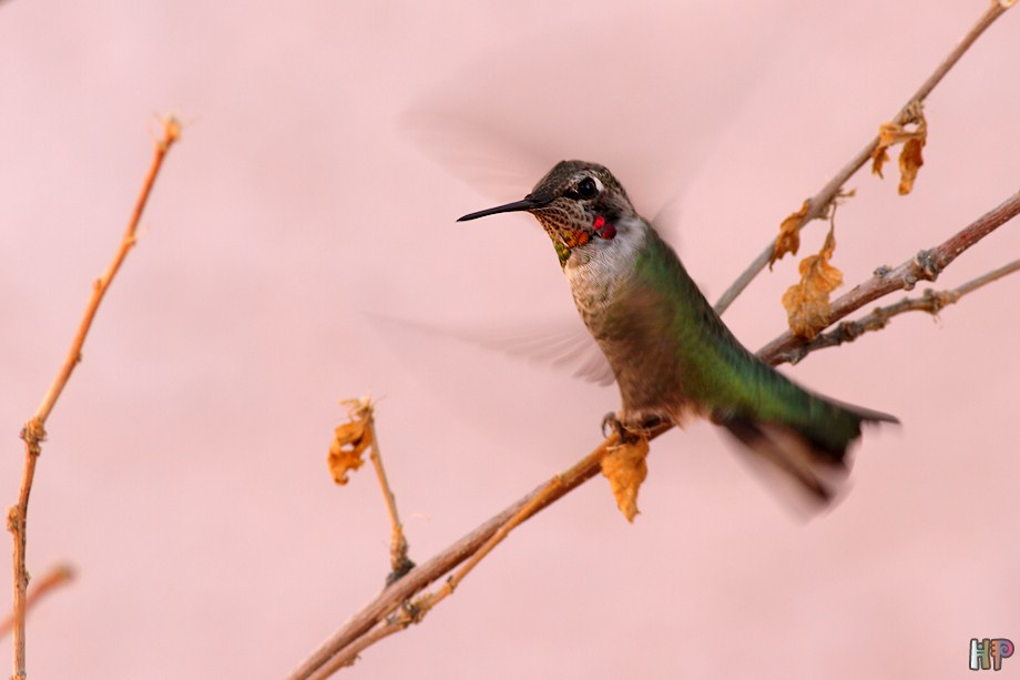 Anna's Hummingbird 122811-4