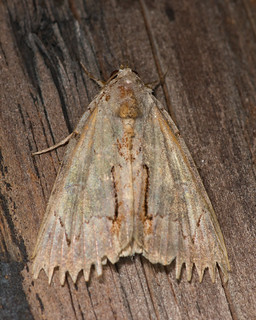 very worn C. grynea  moth pinking shears 3276