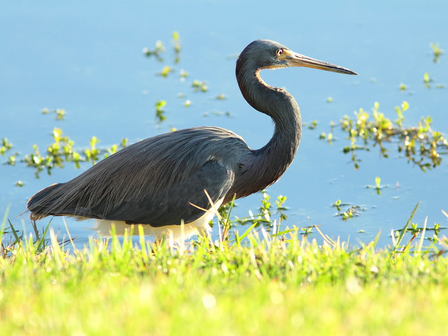Tricolored Heron 20111231