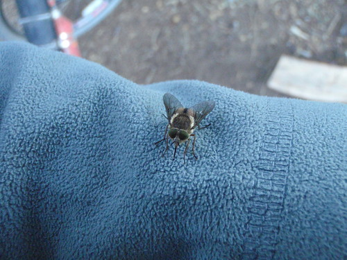 Our menace in Patagonia: Horseflies