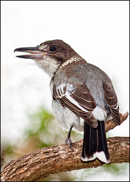 20111231 Grey Butcherbird