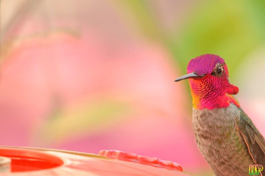 Anna's Hummingbird 010212-5