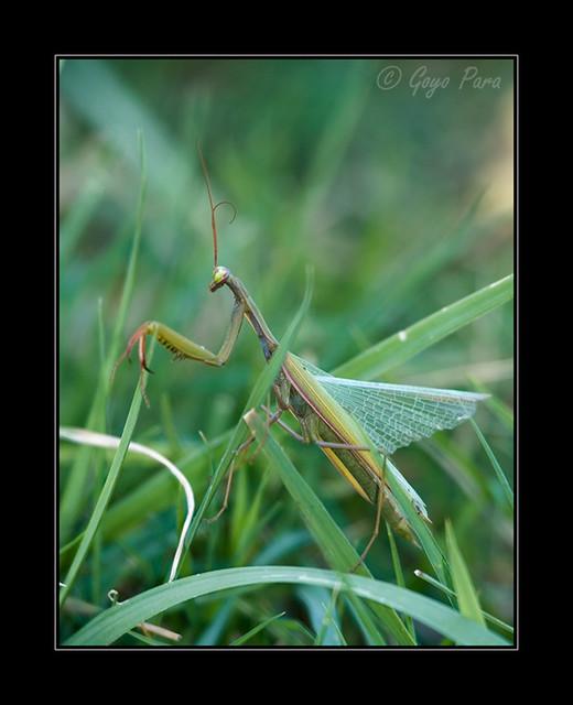 Mantis con antena rizada