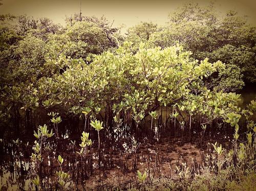 Mangrove Mud Womp video still