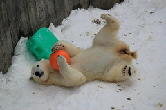 Young polar bear with toys / 大事なおもちゃ