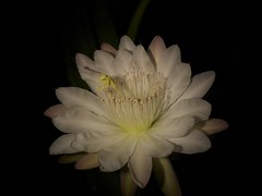 flower, yellow, white, macro photography, flora, close-up, epiphyllum oxypetalum, cactus family, petal,