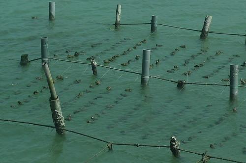 Oyster Farming - Tainan, Taiwan