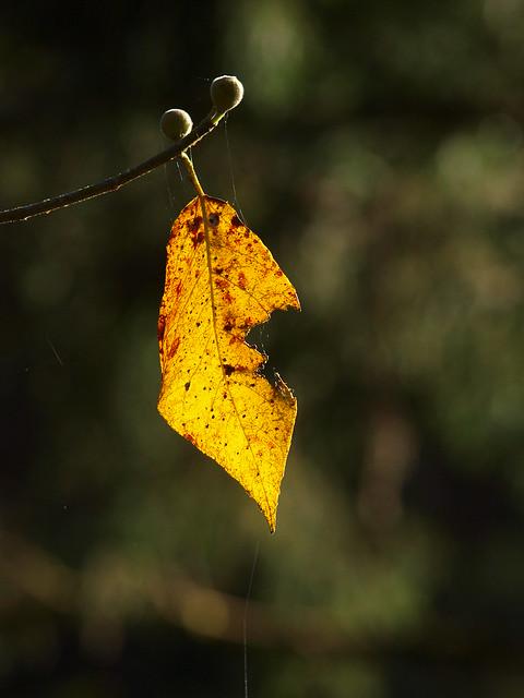 孤單的黃葉~