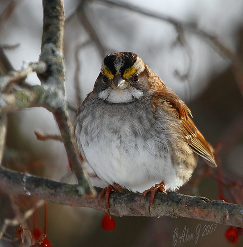 White-Throated Sparrow by alanj2007