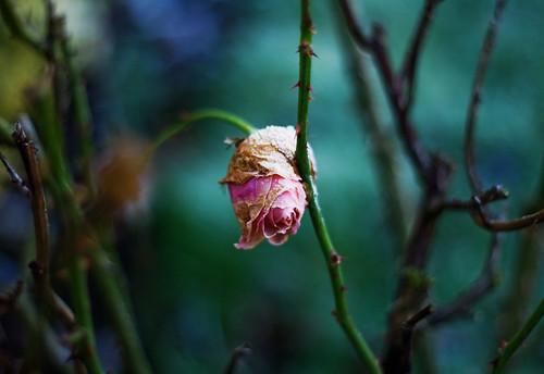 Frost-bitten Rose