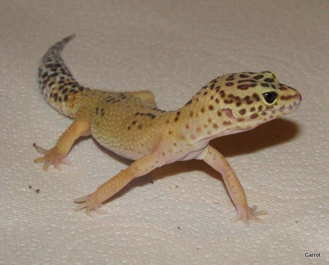 Girl Leopard Gecko