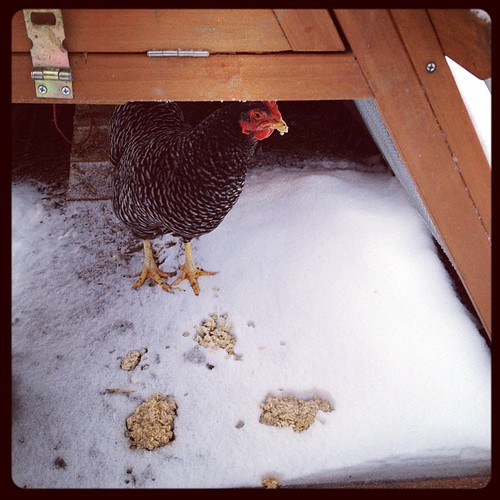 jazzy the brave little chicken #precipitationpanic2012 by stephk