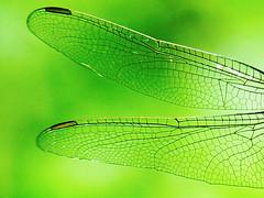 5.蜻蜓的翅膀,注意到翅痣了嗎?