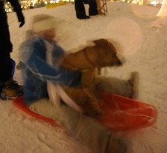 """Real """"dog sledding"""", Akirya, the dog goes down the hill on a sled with Kate, her friend, they made it to the bottom successfully! orange plastic toboggan, top of the hill, snowy night, Gas Works Park, Wallingford, Seattle, Washington, USA"""