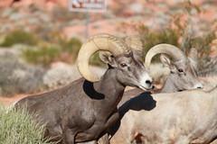 Valley of Fire-Big Horn Sheep